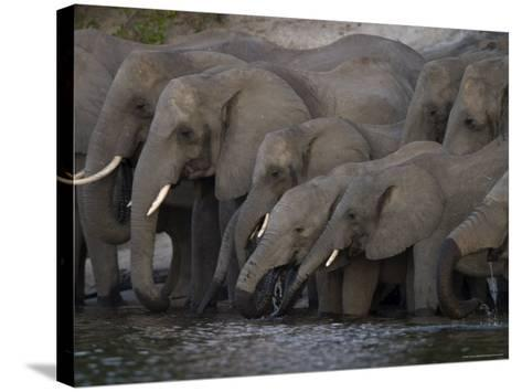 African Elephant, Loxodonta Africana, Chobe National Park, Chobe River, Botswana, Africa-Thorsten Milse-Stretched Canvas Print