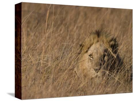 Lion, Panthera Leo, Moremi Wildlife Reserve, Botswana, Africa-Thorsten Milse-Stretched Canvas Print