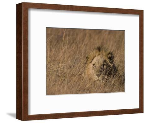Lion, Panthera Leo, Moremi Wildlife Reserve, Botswana, Africa-Thorsten Milse-Framed Art Print