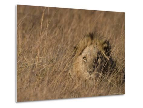 Lion, Panthera Leo, Moremi Wildlife Reserve, Botswana, Africa-Thorsten Milse-Metal Print