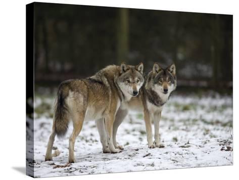 Gray Wolf (Grey Wolf), Canis Lupus, Wildlife Preserve, Rheinhardswald, Germany, Europe-Thorsten Milse-Stretched Canvas Print