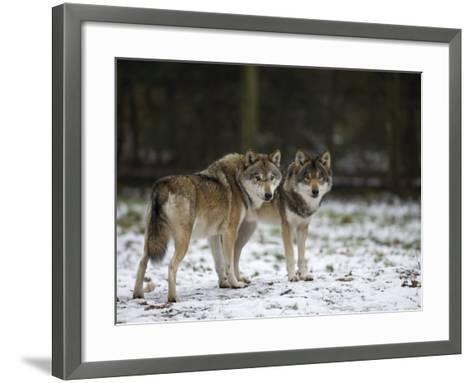 Gray Wolf (Grey Wolf), Canis Lupus, Wildlife Preserve, Rheinhardswald, Germany, Europe-Thorsten Milse-Framed Art Print