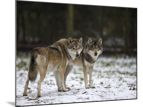 Gray Wolf (Grey Wolf), Canis Lupus, Wildlife Preserve, Rheinhardswald, Germany, Europe-Thorsten Milse-Mounted Photographic Print