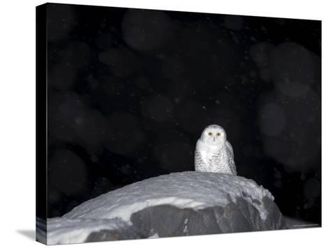 Snow Owl, Nyctea Scandiaca, Churchill, Manitoba, Canada, North America-Thorsten Milse-Stretched Canvas Print