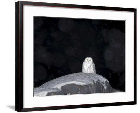 Snow Owl, Nyctea Scandiaca, Churchill, Manitoba, Canada, North America-Thorsten Milse-Framed Art Print