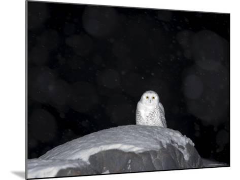 Snow Owl, Nyctea Scandiaca, Churchill, Manitoba, Canada, North America-Thorsten Milse-Mounted Photographic Print