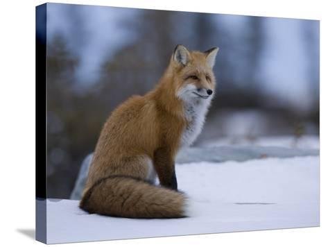 Red Fox, Vulpes Vulpes, Churchill, Manitoba, Canada, North America-Thorsten Milse-Stretched Canvas Print