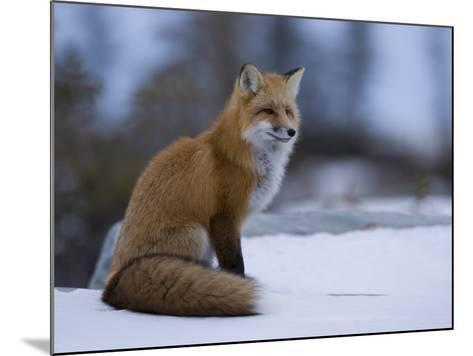 Red Fox, Vulpes Vulpes, Churchill, Manitoba, Canada, North America-Thorsten Milse-Mounted Photographic Print