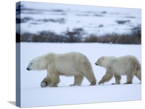 Polar Bear with a Cub, Ursus Maritimus, Churchill, Manitoba, Canada, North America-Thorsten Milse-Stretched Canvas Print