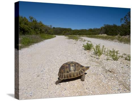Geometric Tortoise (Psammobates Geometricus), West Coast, South Africa, Africa-Thorsten Milse-Stretched Canvas Print