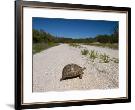 Geometric Tortoise (Psammobates Geometricus), West Coast, South Africa, Africa-Thorsten Milse-Framed Art Print