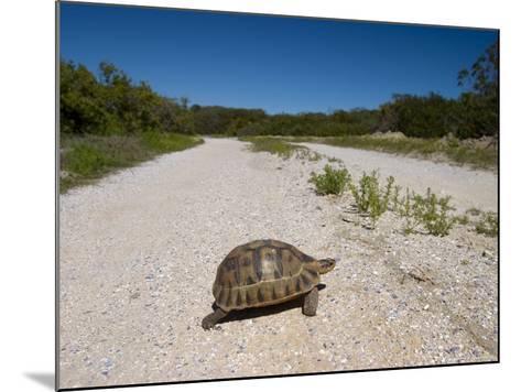 Geometric Tortoise (Psammobates Geometricus), West Coast, South Africa, Africa-Thorsten Milse-Mounted Photographic Print