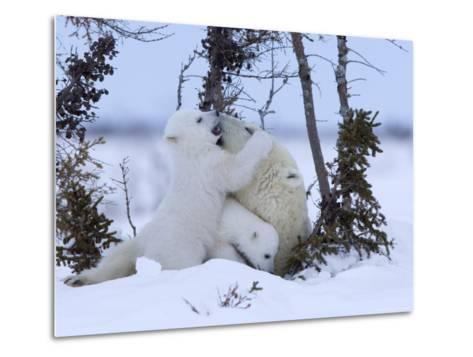 Polar Bear with Cubs, (Ursus Maritimus), Churchill, Manitoba, Canada-Thorsten Milse-Metal Print