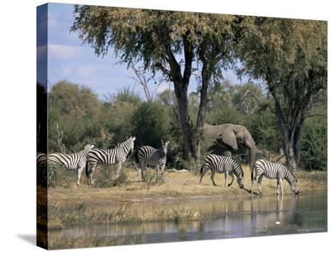 Elephant and Zebras at the Khwai River, Moremi Wildlife Reserve, Botswana, Africa-Thorsten Milse-Stretched Canvas Print