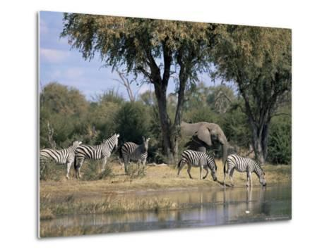 Elephant and Zebras at the Khwai River, Moremi Wildlife Reserve, Botswana, Africa-Thorsten Milse-Metal Print