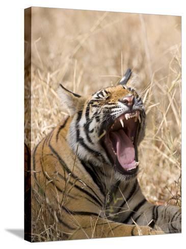 Bengal Tiger, (Panthera Tigris Tigris), Bandhavgarh, Madhya Pradesh, India-Thorsten Milse-Stretched Canvas Print
