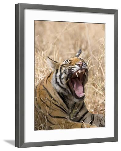 Bengal Tiger, (Panthera Tigris Tigris), Bandhavgarh, Madhya Pradesh, India-Thorsten Milse-Framed Art Print