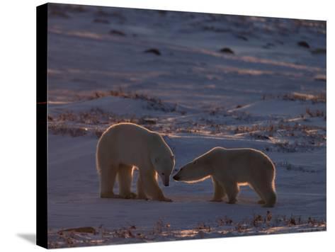 Polar Bear (Ursus Maritimus), Hudson Bay, Churchill, Manitoba, Canada, North America-Thorsten Milse-Stretched Canvas Print