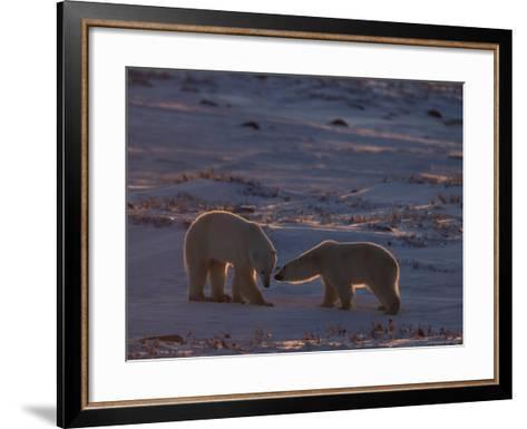 Polar Bear (Ursus Maritimus), Hudson Bay, Churchill, Manitoba, Canada, North America-Thorsten Milse-Framed Art Print