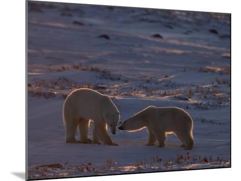 Polar Bear (Ursus Maritimus), Hudson Bay, Churchill, Manitoba, Canada, North America-Thorsten Milse-Mounted Photographic Print