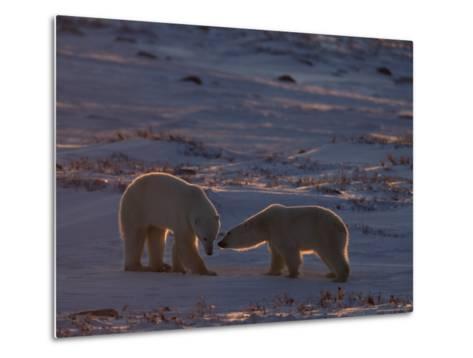 Polar Bear (Ursus Maritimus), Hudson Bay, Churchill, Manitoba, Canada, North America-Thorsten Milse-Metal Print