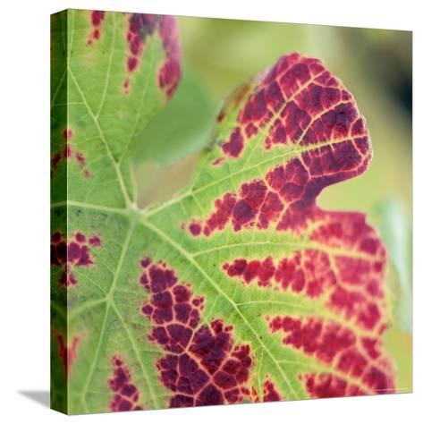 Close-up of a Vine Leaf in Autumn-John Miller-Stretched Canvas Print