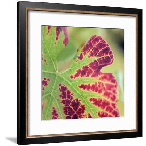 Close-up of a Vine Leaf in Autumn-John Miller-Framed Art Print