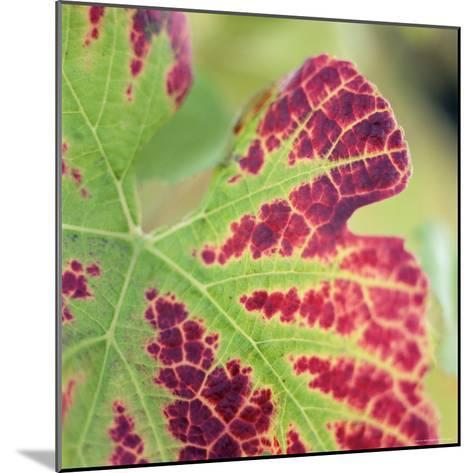 Close-up of a Vine Leaf in Autumn-John Miller-Mounted Photographic Print
