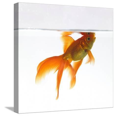 Goldfish Swimming Just Below the Surface of the Water-Mark Mawson-Stretched Canvas Print