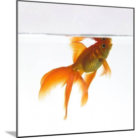 Goldfish Swimming Just Below the Surface of the Water-Mark Mawson-Mounted Photographic Print