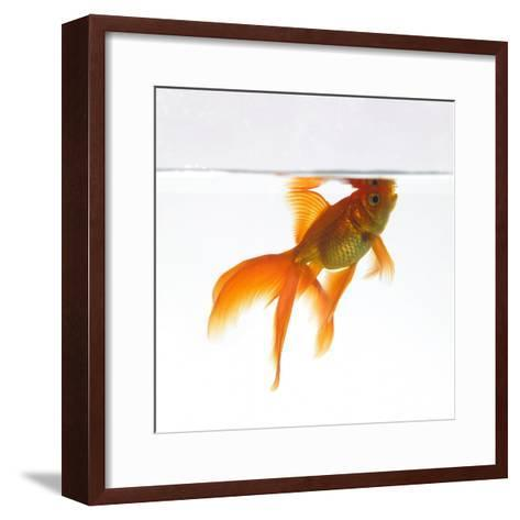 Goldfish Swimming Just Below the Surface of the Water-Mark Mawson-Framed Art Print