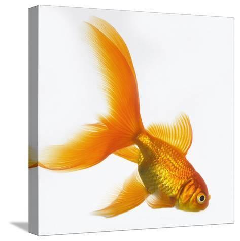 Goldfish-Mark Mawson-Stretched Canvas Print