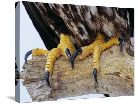 Close up of the Feet and Talons of a Bald Eagle, Alaska, USA, North America-David Tipling-Stretched Canvas Print