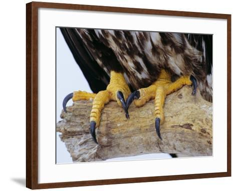 Close up of the Feet and Talons of a Bald Eagle, Alaska, USA, North America-David Tipling-Framed Art Print