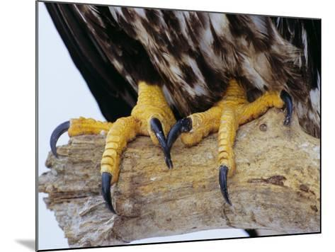 Close up of the Feet and Talons of a Bald Eagle, Alaska, USA, North America-David Tipling-Mounted Photographic Print