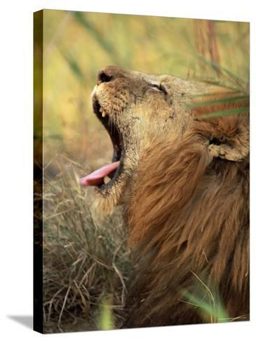 Close-Up of a Male Lion Yawning, Mala Mala Game Reserve, Sabi Sand Park, South Africa, Africa-Sergio Pitamitz-Stretched Canvas Print