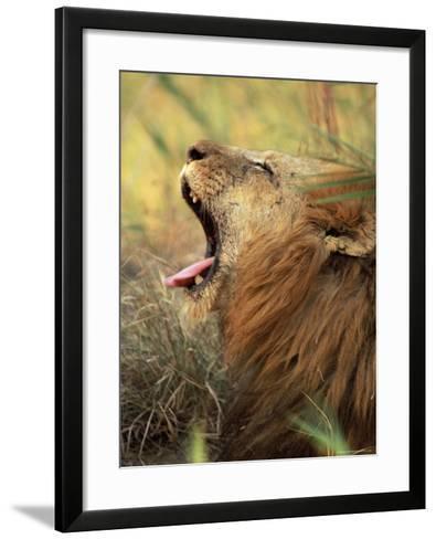 Close-Up of a Male Lion Yawning, Mala Mala Game Reserve, Sabi Sand Park, South Africa, Africa-Sergio Pitamitz-Framed Art Print