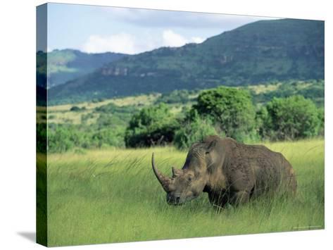 White Rhinoceros (Rhino), Ceratherium Sumum, Itala Game Reserve, Kwazulu-Natal, South Africa-Ann & Steve Toon-Stretched Canvas Print