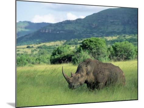 White Rhinoceros (Rhino), Ceratherium Sumum, Itala Game Reserve, Kwazulu-Natal, South Africa-Ann & Steve Toon-Mounted Photographic Print