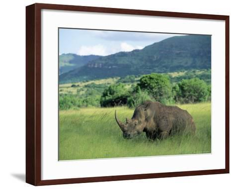 White Rhinoceros (Rhino), Ceratherium Sumum, Itala Game Reserve, Kwazulu-Natal, South Africa-Ann & Steve Toon-Framed Art Print