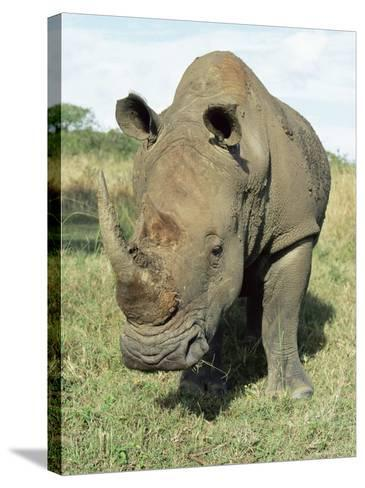 White Rhinoceros (Rhino), Ceratotherium Simum, Itala Game Reserve, Kwazulu-Natal, South Africa-Ann & Steve Toon-Stretched Canvas Print
