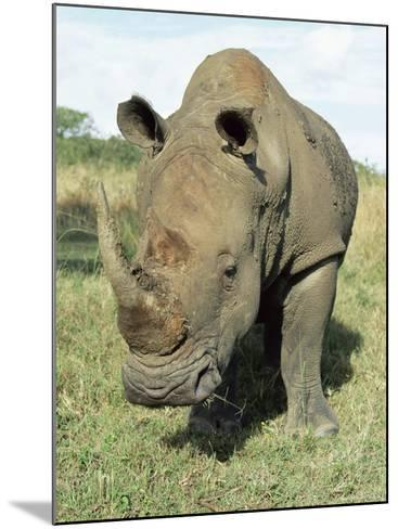 White Rhinoceros (Rhino), Ceratotherium Simum, Itala Game Reserve, Kwazulu-Natal, South Africa-Ann & Steve Toon-Mounted Photographic Print