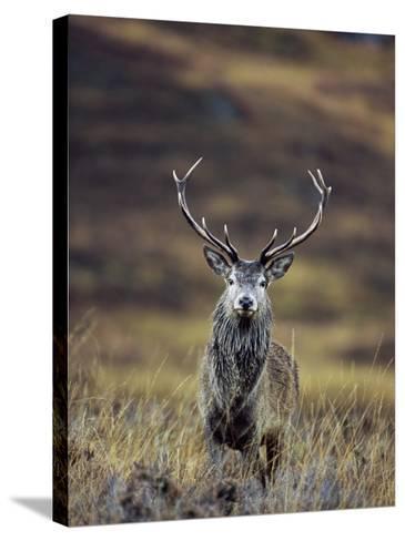 Red Deer Stag in Autumn, Glen Strathfarrar, Inverness-Shire, Highland Region, Scotland-Ann & Steve Toon-Stretched Canvas Print