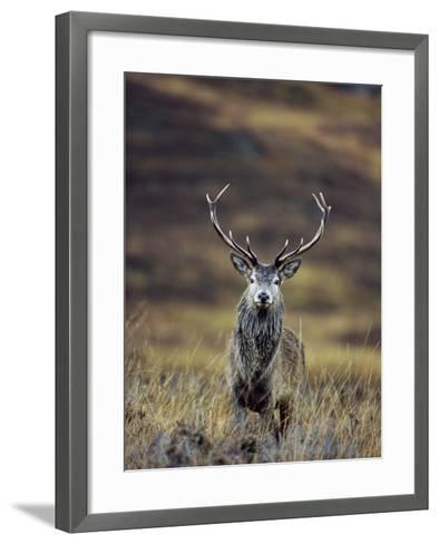 Red Deer Stag in Autumn, Glen Strathfarrar, Inverness-Shire, Highland Region, Scotland-Ann & Steve Toon-Framed Art Print