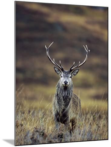 Red Deer Stag in Autumn, Glen Strathfarrar, Inverness-Shire, Highland Region, Scotland-Ann & Steve Toon-Mounted Photographic Print