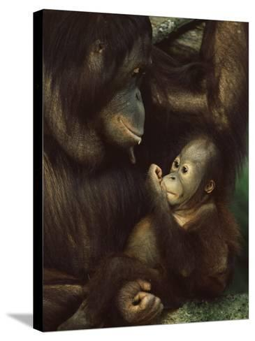 Orang Utan Mother and Baby, Pongo Pygamaeus, in Captivity, Singapore Zoo, Singapore-Ann & Steve Toon-Stretched Canvas Print