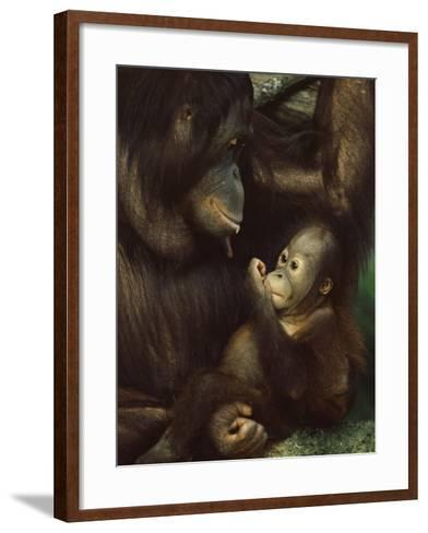Orang Utan Mother and Baby, Pongo Pygamaeus, in Captivity, Singapore Zoo, Singapore-Ann & Steve Toon-Framed Art Print