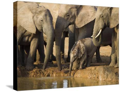 Baby Elephant, Loxodonta Africana, Eastern Cape, South Africa-Ann & Steve Toon-Stretched Canvas Print