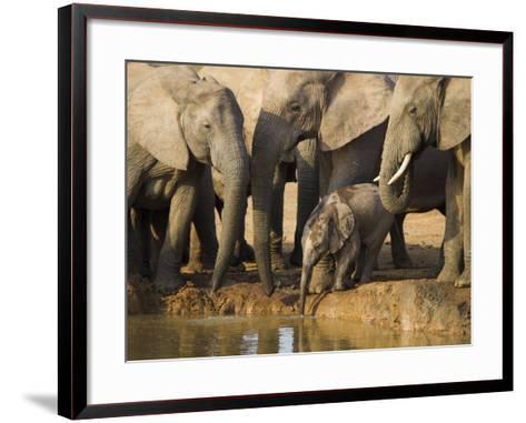 Baby Elephant, Loxodonta Africana, Eastern Cape, South Africa-Ann & Steve Toon-Framed Art Print