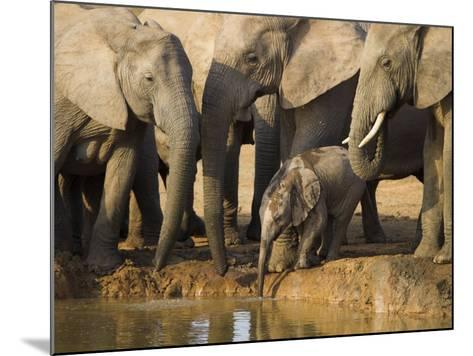 Baby Elephant, Loxodonta Africana, Eastern Cape, South Africa-Ann & Steve Toon-Mounted Photographic Print